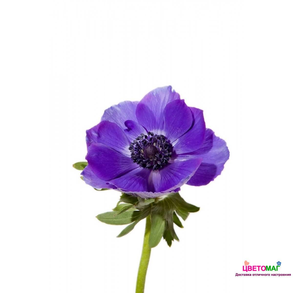 Анемон синий