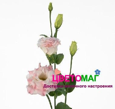 Розовый лизиантус (эустома)