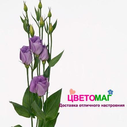 Фиолетовый лизиантус (эустома)