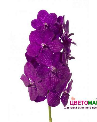 Орхидея Ванда тайян макси церизе