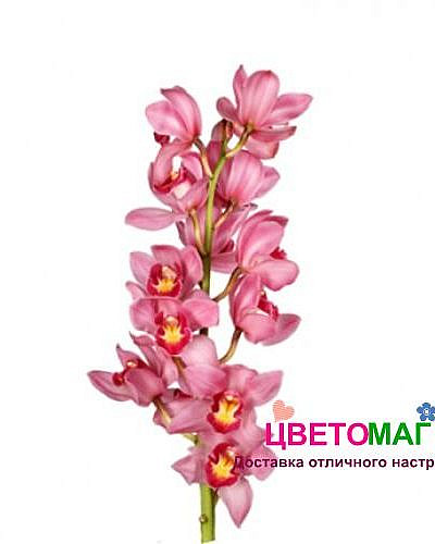 Орхидея цимбидиум розовая