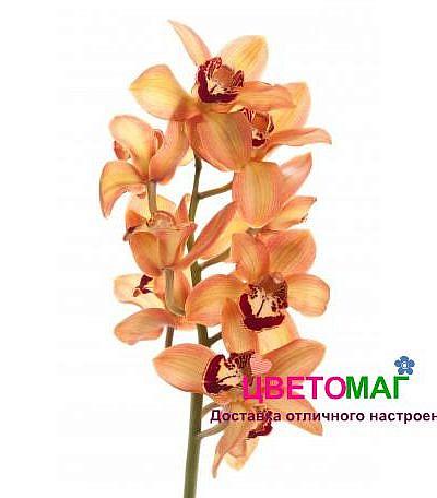 Орхидея цимбидиум рыжая