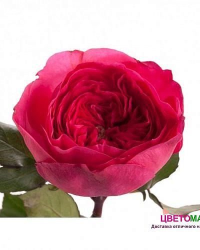 Роза пионовидная малиновая Баронесе