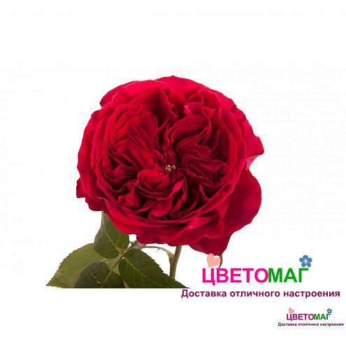 Роза пионовидная темно-малиновая Дарси