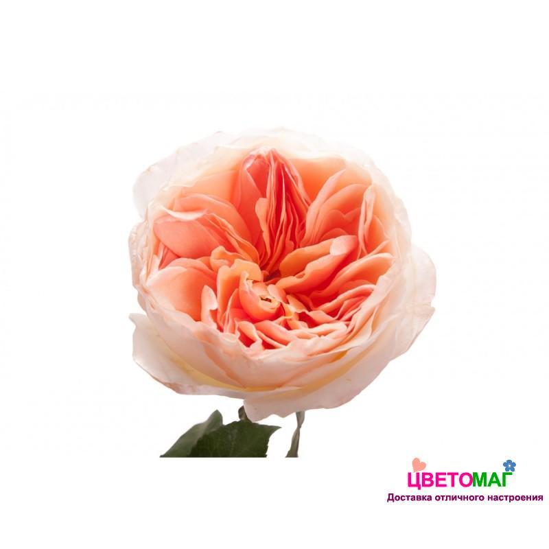 Роза пионовидная персиковая Джульет