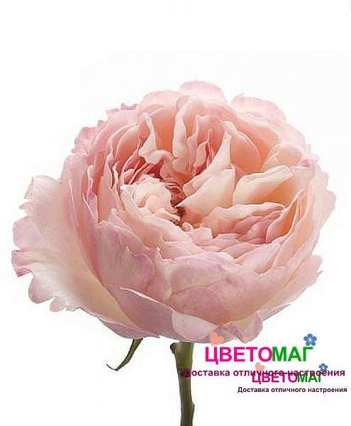 Роза пионовидная нежно-розовая Кейра