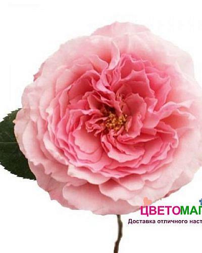 Роза пионовидная розовая Майра брайдэл пинк