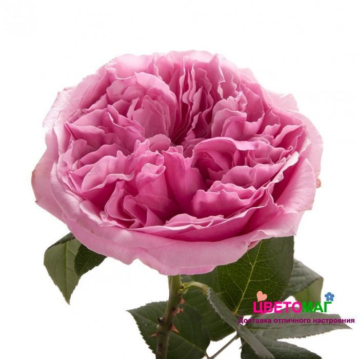 Роза пионовидная розовая Миранда