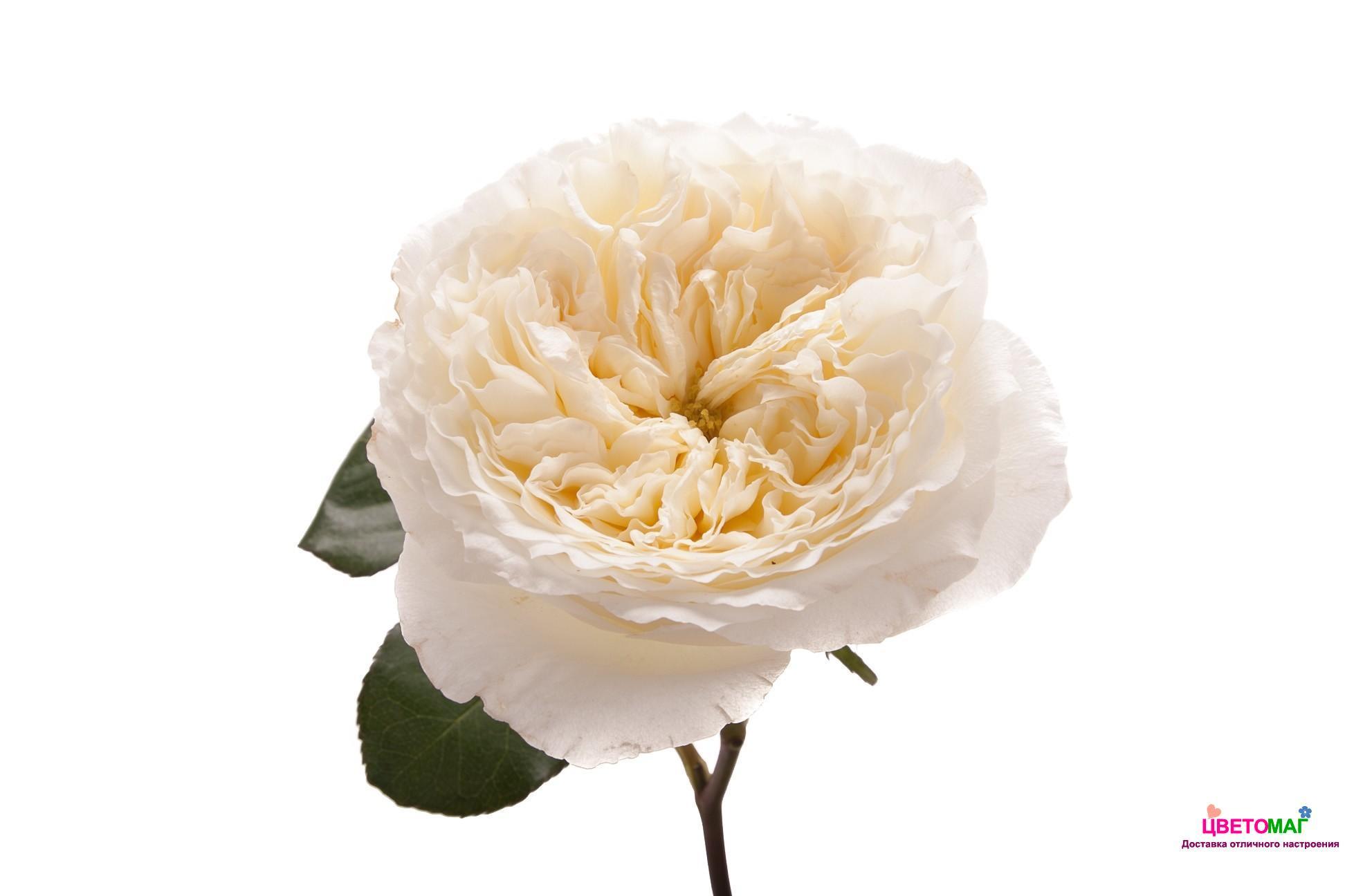 Роза пионовидная белая Патиенс