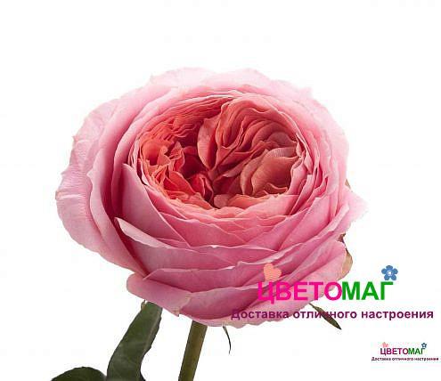 Роза пионовидная розовая Романтик Антик