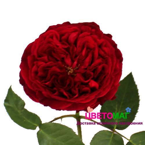 Роза пионовидная красная Тесс
