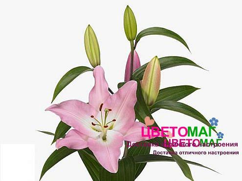 Лилия розовая ориентальная (с запахом)